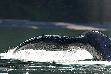 Adult humpback whale (Megaptera novaeangliae) fluke-up dive in Chatham Strait, southeast Alaska, USA.