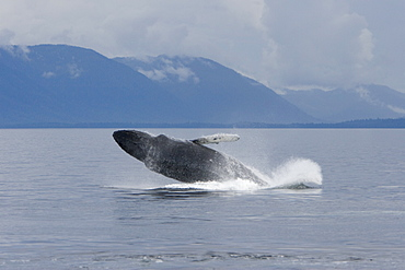 Humpback whale mother (Megaptera novaeangliae) breaching in south Frederick Sound, Southeast Alaska, USA. Pacific Ocean.