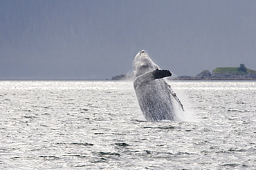 Adult humpback whale (Megaptera novaeangliae) breaching and head-lunging along the eastern shore of Chichagof Island in Southeastern Alaska, USA