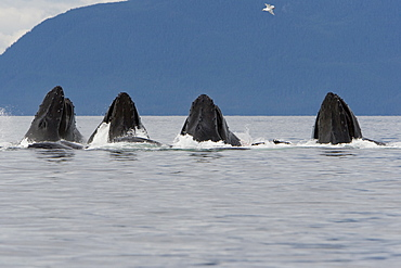 """A group of adult humpback whales (Megaptera novaeangliae) co-operatively """"bubble-net"""" feeding along the west side of Chatham Strait in Southeast Alaska, USA. Pacific Ocean."""