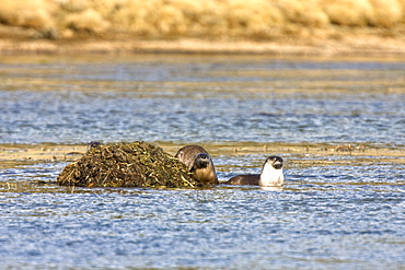 A family of river otters (Lontra canadensis) foraging in the Yellowstone River in Hayden Valley in Yellowstone National Park, Wyoming