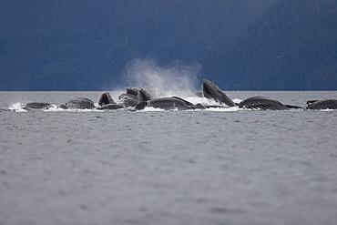 Adult humpback whales (Megaptera novaeangliae) cooperatively bubble-net feeding in Freshwater Bay on Chichagof Island in Southeast Alaska, USA