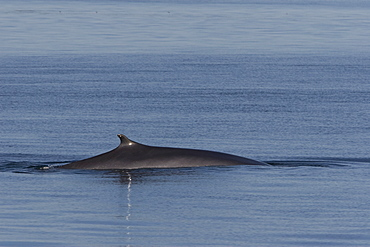 Adult fin whale (Balaenoptera physalus) surfacing in the calm waters off Isla San Esteban in the midriff region of the Gulf of California (Sea of Cortez), Baja California, Mexico