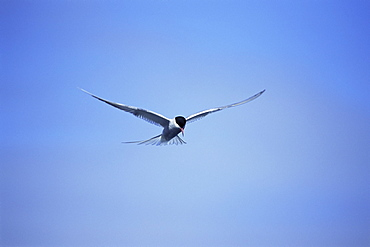 Arctic tern (Sterna hirundo) hovering over estuary, hunting sand eels, in mid-summer when the colonies are active for 24 hours per day. Iceland.