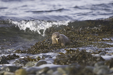 Eurasian river otter (Lutra lutra) eating fish.  Otters in western Scotland have adapted well to life in a marine environment, though proximity to sources of fresh water is essential.  Hebrides, Scotland