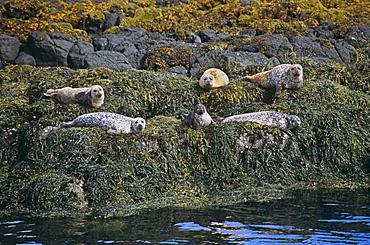 Common seal (Phoca vitulina).  Hebrides, Scotland
