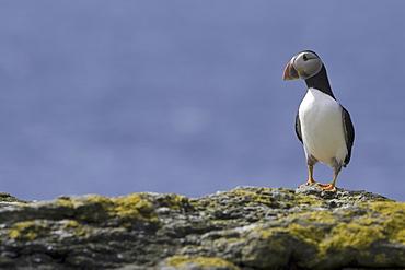 Horned puffin (Fratercula arctica).  Hebrides, Scotland