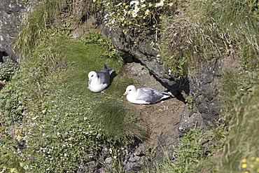 Fulmar (Fulmarus glacialis) at nest site.  Hebrides, Scotland