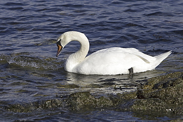 Mute swan (Cygnus olor) at sea.  Most people might associate swans with a freshwater environment but they can also be seen in a marine setting.  Hebrides, Scotland