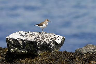 Common Sandpiper (Actitis hypoleucos) on rocky marine foreshore.  Hebrides, Scotland.