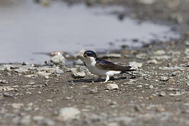 House Martin (Delichon urbica) collecting mud for nest building.  Hebrides, Scotland
