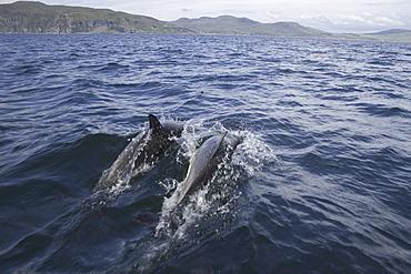 Common dolphin (Delphinus delphis).  Hebrides, Scotland