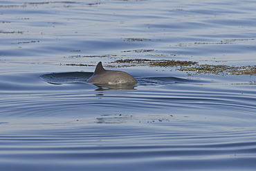 Harbour porpoise (Phocoena phocoena).  The west coast of Scotland remains a stronghold for the porpoise where it is far less likely to fall victim to fishery bycatch.  Hebrides, Scotland