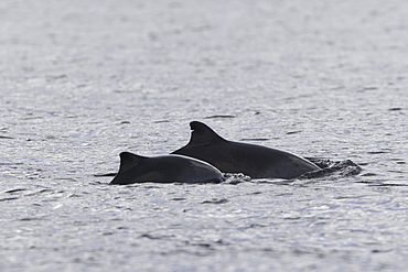 Harbour porpoise (Phocoena phocoena).  A mother and calf pair, the mother showing that photo id of porpoises may well be possible.  Hebrides, Scotland