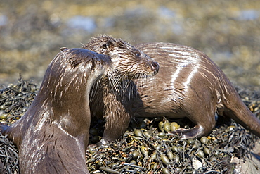 Pair of Eurasian river otters (Lutra lutra) foraging in and among the seaweed.  Otters on Scotland's west coast and islands have adapted well to making a living in the marine environment.  Hebrides, Scotland