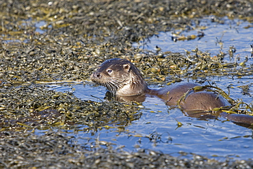 Eurasian river otter (Lutra lutra) foraging in and among the seaweed.  Otters on Scotland's west coast and islands have adapted well to making a living in the marine environment.  Hebrides, Scotland