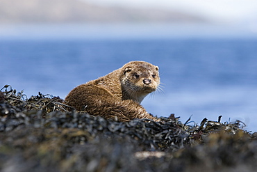 Eurasian river otter (Lutra lutra) resting on seaweed.  Otters spend a great deal of time resting ashore, usually near to the water's edge.  This time is spent sleeping and preening fur etc.  Visits ashore may also be to find fresh water to drink.  Hebrides, Scotland