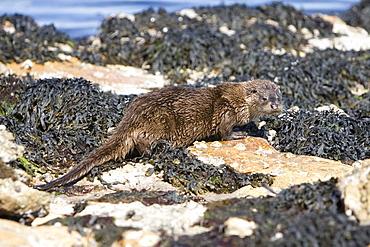 Eurasian river otter (Lutra lutra) among seaweed and rocks.  Hebrides, Scotland
