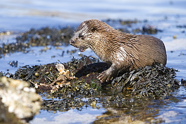 Eurasian river otter (Lutra lutra) eating a large crab.  Large fish and crabs are difficult to constrain and eat in the water so are often brought ashore.  Otters will sometimes swim realtively long distances in order to do so.  Hebrides, Scotland
