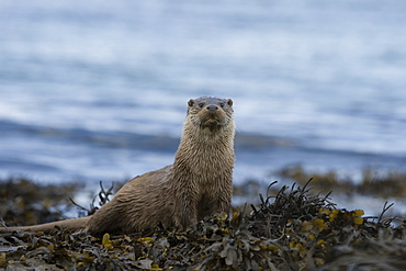 Eurasian river otter (Lutra lutra).  With her only cub nearby, this mother is displaying great alertness.  Hebrides, Scotland