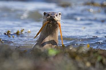 Eurasian river otter (Lutra lutra) catching and eating snake pipefish (Entelerus aequoreus).  Hebrides, Scotland.