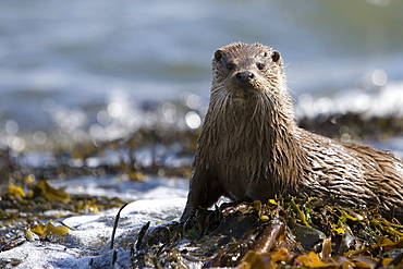 Eurasian river otter (Lutra lutra) in the marine environment to which they have adapted so successfully.  Hebrides, Scotland.