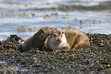 Eurasian river otter (Lutra lutra).  Hebrides, Scotland.