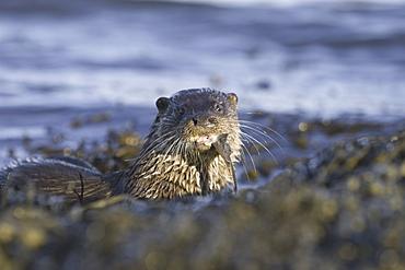 Eurasian river otter (Lutra lutra) eating flatfish.  Hebrides, Scotland