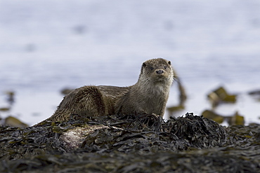Eurasian river otter (Lutra lutra) resting.  Otters take regular breaks during their foraging activities, often choosing high points or islets just offshore in order to sleep, preen and play.  Hebrides, Scotland