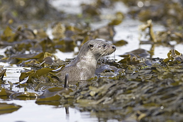Eurasian river otter (Lutra lutra).  Otters in western Scotland have adapted well to life in a marine environment, though proximity to sources of fresh water is essential.  Hebrides, Scotland