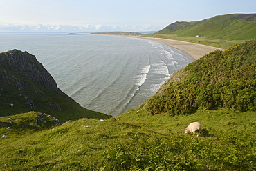 Sheep (Ovis aries) grazing cliff-top pastureland with Rhossili Bay beach in the background, The Gower Peninsula, Wales, United Kingdom, Europe