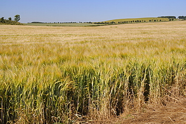 Ripening barley (Hordeum vulgare) crop rippled by gusts of wind, Marlborough Downs, Wiltshire, England, United Kingdom, Europe
