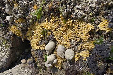 Dog whelks (Nucella lapillus) and clusters of their eggs attached to a rock exposed at low tide, The Gower Peninsula, Wales, United Kingdom, Europe