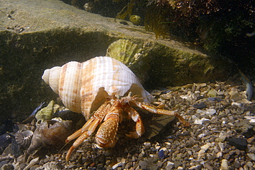 Common hermit crab (Pagurus bernhardus), in a common whelk shell (Buccinum undatum) in a rockpool, The Gower Peninsula, Wales, United Kingdom, Europe