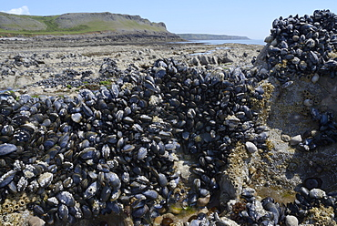 Common mussels (Mytilus edulis) attached to rocks exposed at low tide, Rhossili, The Gower Peninsula, Wales, United Kingdom, Europe