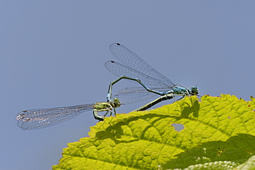 Azure damselfly (Coenagrion puella) pair mating and casting shadow on a leaf, Wiltshire, England, United Kingdom, Europe