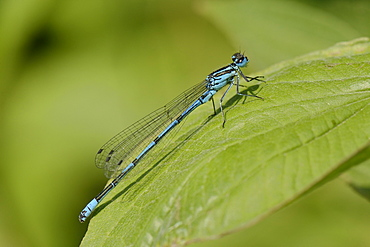 Male azure damselfly (Coenagrion puella) resting on a leaf, Wiltshire, England, United Kingdom, Europe
