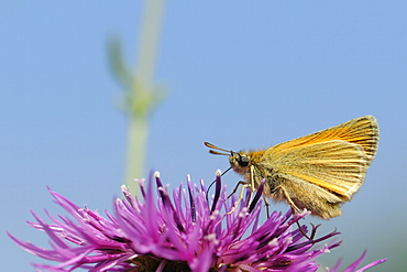 Small skipper (Thymelicus sylvestris) nectaring on greater knapweed flower (Centaurea scabiosa) in a chalk grassland meadow, Wiltshire, England, United Kingdom, Europe