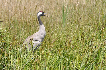 Reintroduced common crane (Eurasian crane) (Grus grus) panting in hot weather while standing on her nest in a sedge marsh, Gloucestershire, England, United Kingdom, Europe