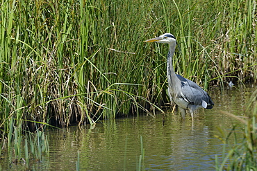 Grey heron (Ardea cinerea) hunting in a marshland pool, Gloucestershire, England, United Kingdom, Europe