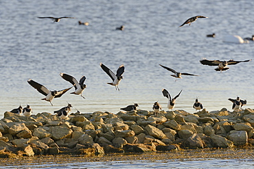 Lapwings (Vanellus vanellus) arriving at a roost on a stone breakwater in sunset light, Rutland Water, Rutland, England, United Kingdom, Europe