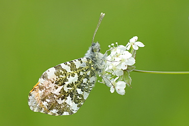 Orange tip butterfly (Anthocharis cardamines) resting on common valerian flowers (Valeriana officinalis), Wiltshire, England, United Kingdom, Europe