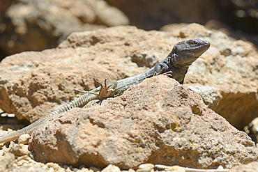 Male Tenerife lizard (Western Canaries lizard) (Gallotia galloti) sun basking on volcanic rock, raising a back foot to cool it, Tenerife, Canary Islands, Spain, Europe