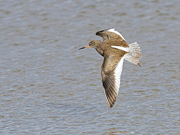 Common redshank (Tringa totanus) flying over a marshland pool, Gloucestershire, England, United Kingdom, Europe