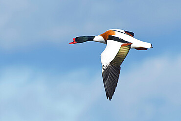 Common shelduck (Tadorna tadorna) drake in flight against a blue sky, Gloucestershire, England, United Kingdom, Europe