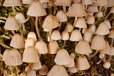 Fairies' bonnets (Fairy inkcap) fungi (Coprinellus disseminatus) clump on a rotting tree trunk, Gloucestershire, England, United Kingdom, Europe