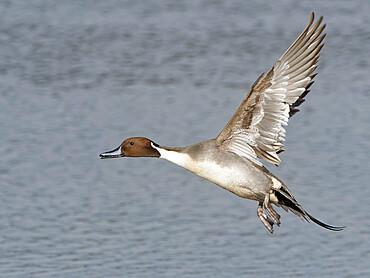Northern pintail (Anas acuta) drake in flight over a marshland pool, Gloucestershire, England, United Kingdom, Europe