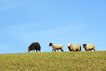 Domestic sheep (Ovis aries) running along ridge in pastureland against blue sky, Cornwall, UK.