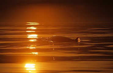 Minke whale (Balaenoptera acutorostrata) swimming into a path of light created on the watervs surface by the setting sun. St. Lawrence estuary, Canada. Sequence 1/2.