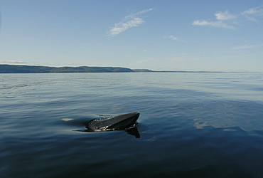 Friendly Minke whale (Balaenoptera acutorostrata) surfacing laterally and curiously approaching the research vessel. St. Lawrence estuary, Canada
